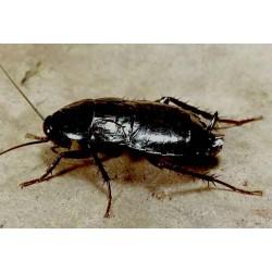Уничтожение и борьба с черными тараканами в Москве и области