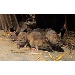 Потравить и уничтожить крыс в Москве и Московской области