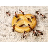Уничтожение и борьба с домашними муравьями