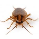 Методы борьбы с тараканами. Как избавиться от тараканов