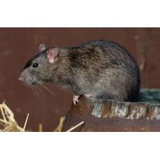 Профессиональное уничтожение и обработка от крыс в Москве и области с гарантией