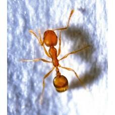 Уничтожение муравьев горячим туманом